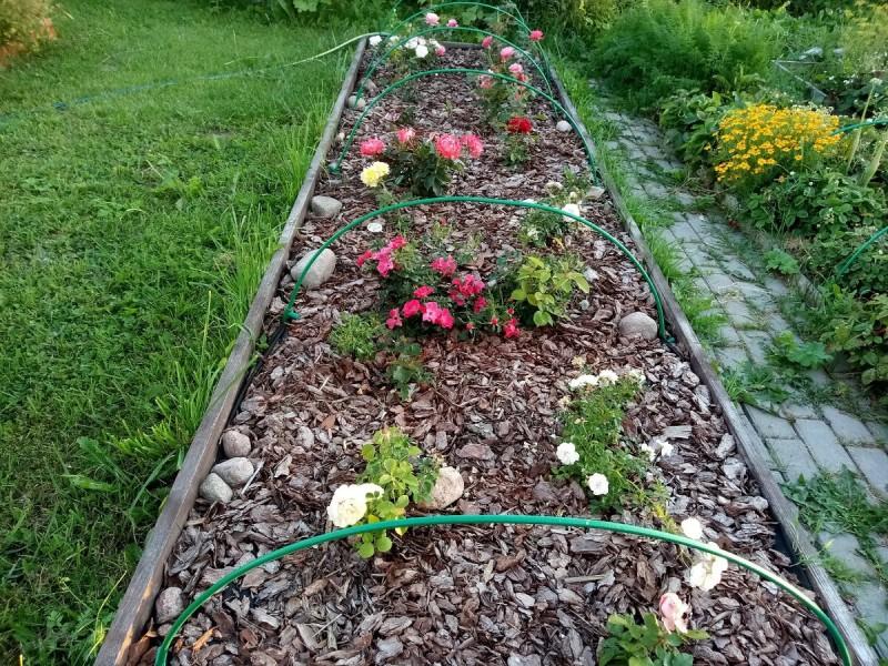 Всю весну я строила планы о создании розария на участке...