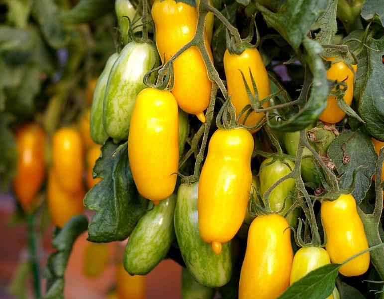 Вырастил в этом году два необычных сорта томата - оказались невкусными, больше не посажу