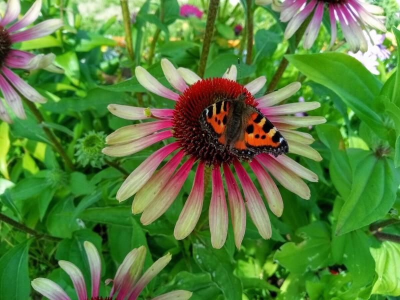 """Эхинацея пурпурная Грин Твистер - эффектный """"ёжик"""" в моем саду"""