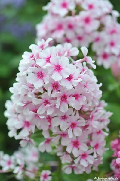 Ещё 12 флоксов, цветущих в моем саду