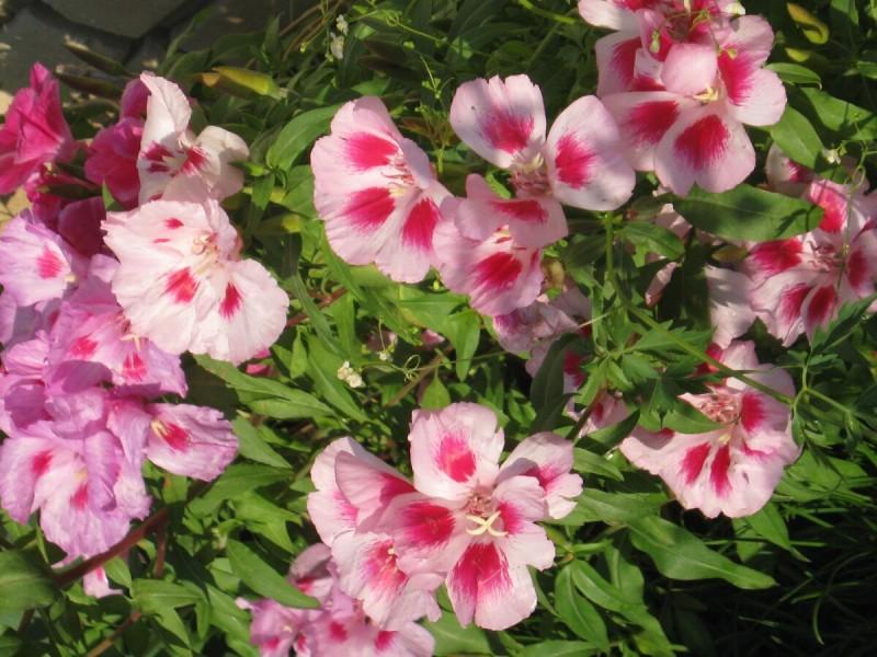 Этот цветок можно посеять под зиму, чтобы все лето любоваться яркой клумбой