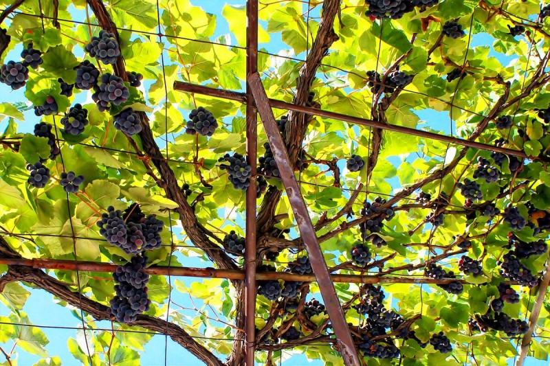 Как формировать виноград начинающему виноградарю.