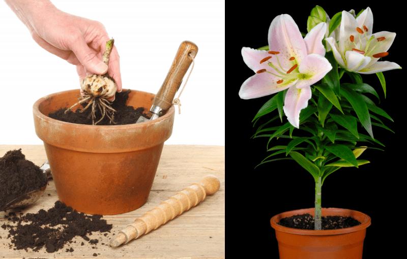 Как посадить лилии в сентябре и октябре