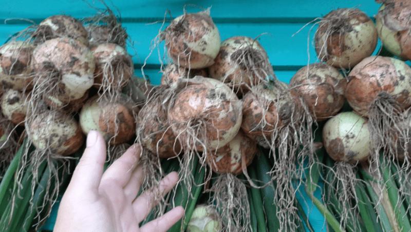 Как правильно посадить лук севок под зиму? Впитала все советы из комментариев 🙂