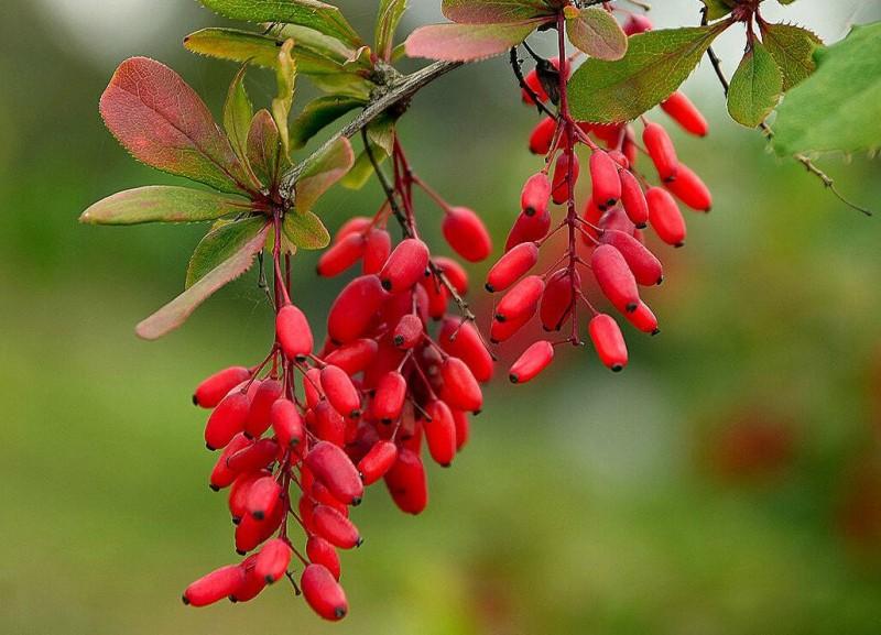 Как вырастить барбарис - красивый кустарник для сада