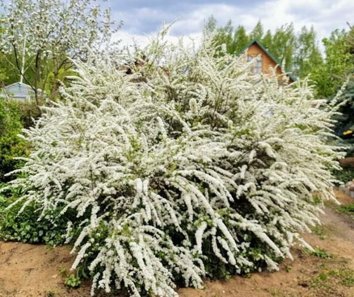 Какие неприхотливые декоративные кустарники посадить в саду осенью