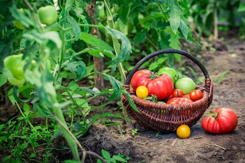 Какие растения забрать с огорода домой, чтобы продолжить собирать урожай