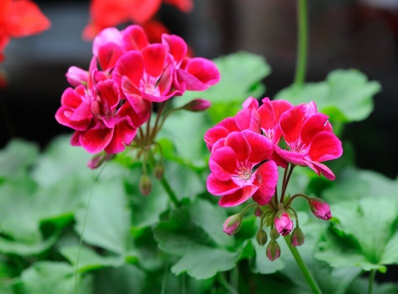 Комнатная герань: подкормки для обильного цветения