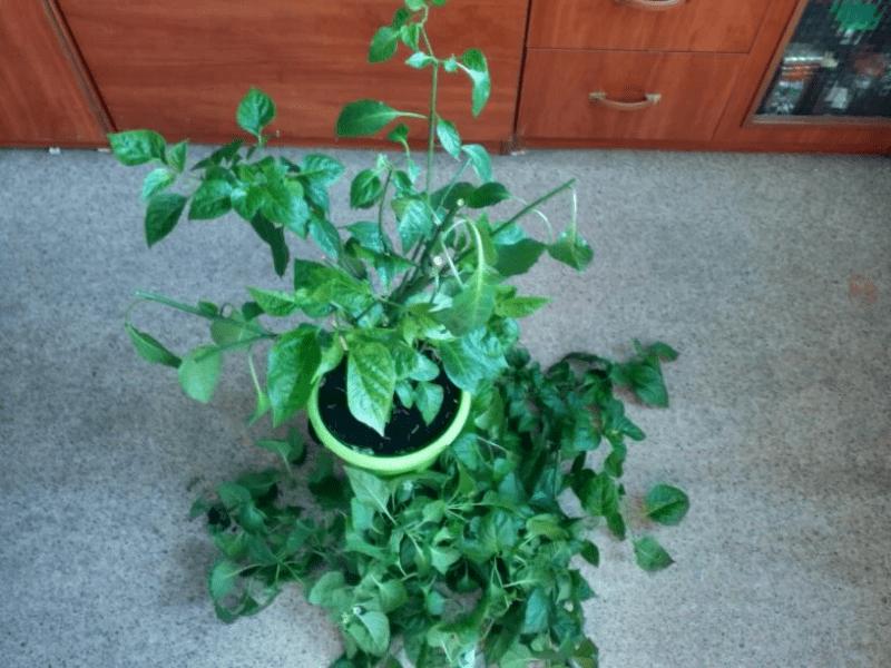 Моему перцу Хабанеро скоро 2 года, почему решила его больше не выращивать дома