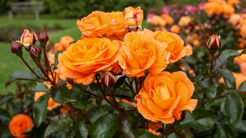 Обрезаю розы к Зиме только этим способом. Куст Разрастается и обновляется очень быстро