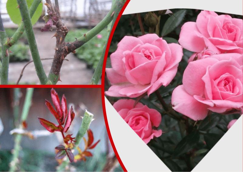 """Осенью обрезаю только 2 типа """"опасных"""" веток на розах (Остальные трогать не стоит). Показываю на примере"""