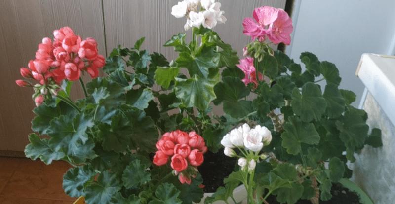 Почему у герани ростут только листья, но она не цветет