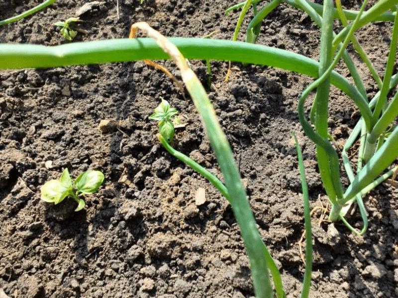 Поняла, почему у меня болеет и плохо растет репчатый лук: поймала вредителя на собранном урожае