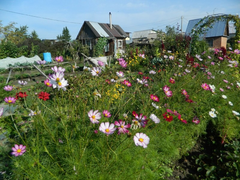 Посадила нынче космеи - получился очень красивый и яркий цветник