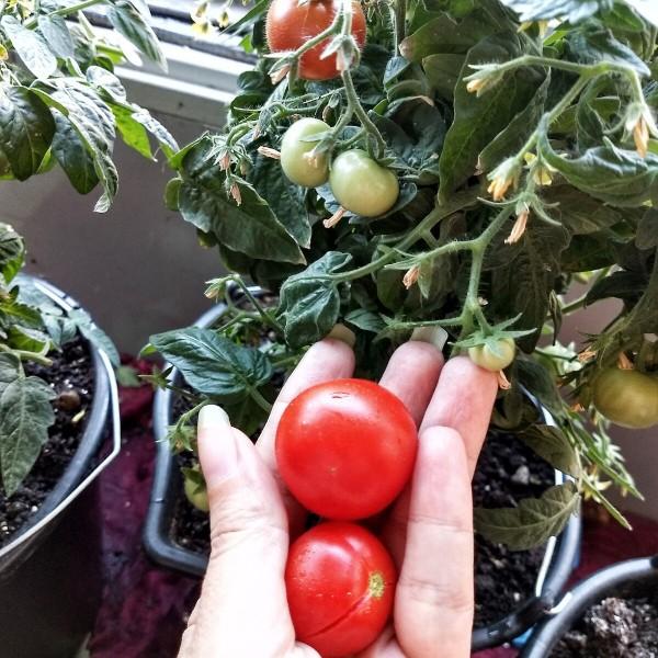Правильное питание с балкона. Посадила помидоры на балконе и вот что из этого получилось.