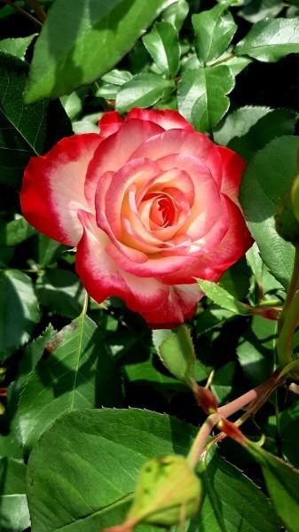 РОЗЫ. Сентябрь. Рыхление почвы в розариях и влагозарядковый полив.