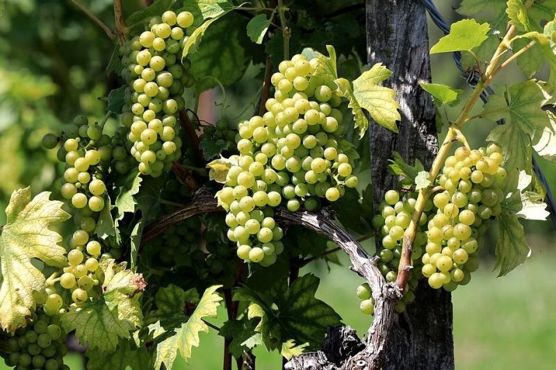 Сделайте это в сентябре, чтобы виноградная лоза вызрела до заморозков.