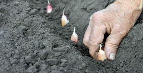 Секреты выращивания крупного чеснока