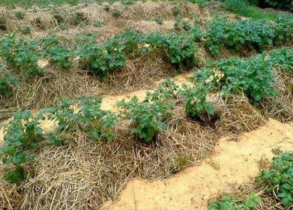 В этом году сажал картошку под солому - теперь всегда так будут делать. Картошка чистая и урожай богатый