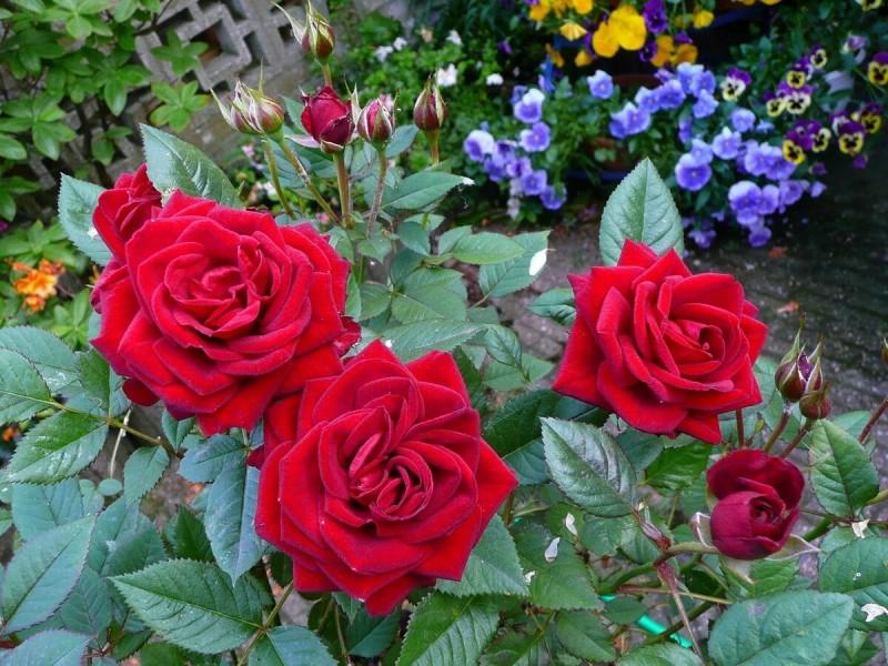 Вашим Розам будут завидовать все соседи. Что обязательно нужно сделать в Сентябре с кустами, чтобы получить Шикарные цветы