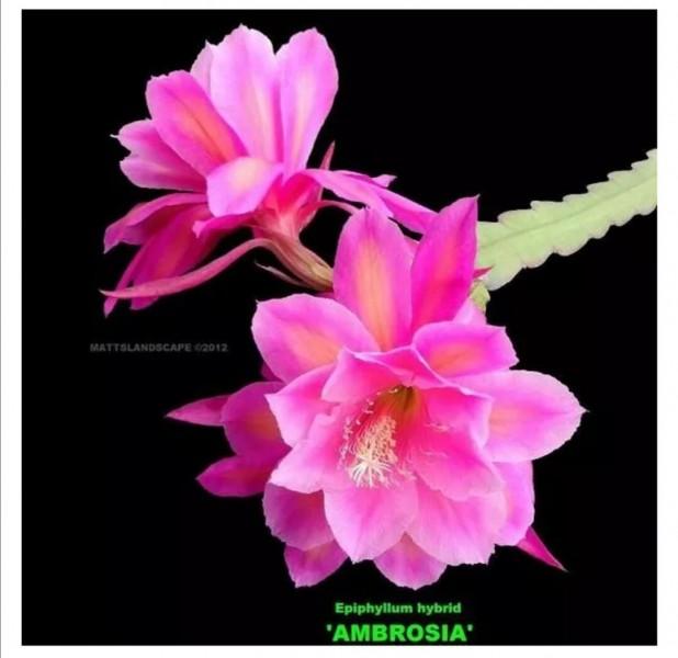 Записки любителя лесных кактусов