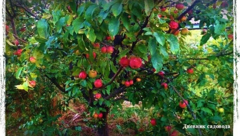 Чем подкормить яблоню и грушу осенью - для богатого урожая в следующем году