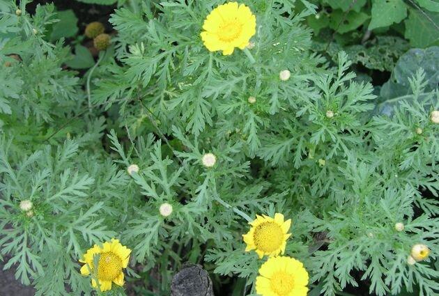 Что такое хризантема овощная?