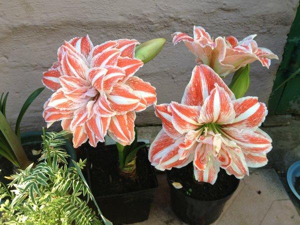 Если комнатные цветы выносили на лето в сад, пора их занести обратно (причем срочно). Какие цветы в моем случае
