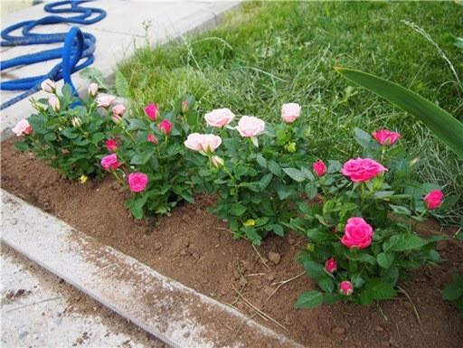 Если розы пришли слишком поздно: тонкости осенней посадки