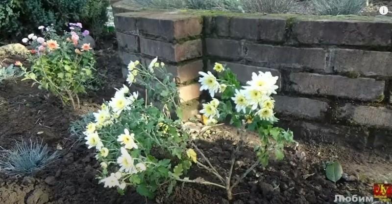 Хризантемы после покупки важно посадить правильно