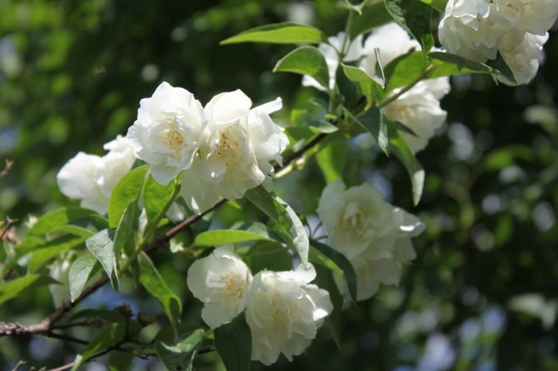 Изысканный чубушник, ароматный кустарник для сада