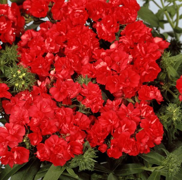 Яркий танец цветов: все об удивительном махровом флоксе