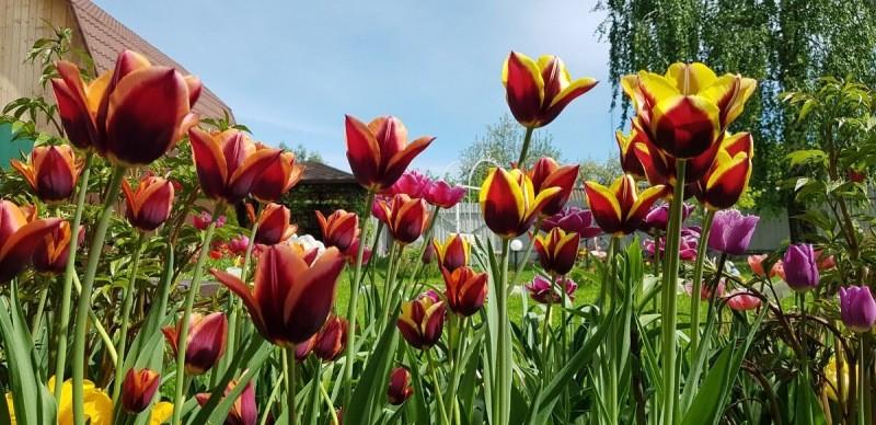 Как посадить тюльпаны понятно, а вот что делать с их детками. Рассказываю о простой хитрости которой я пользуюсь каждый год