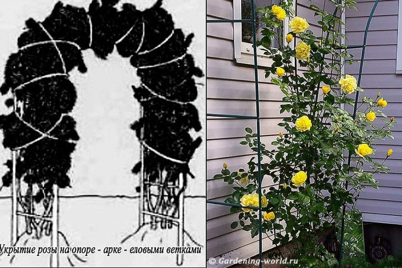 Как укрыть плетистую розу на зиму, 5 ключевых правил обрезки, чтобы не пропало цветение