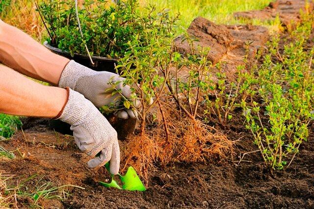 Как выбрать и правильно посадить живую изгородь