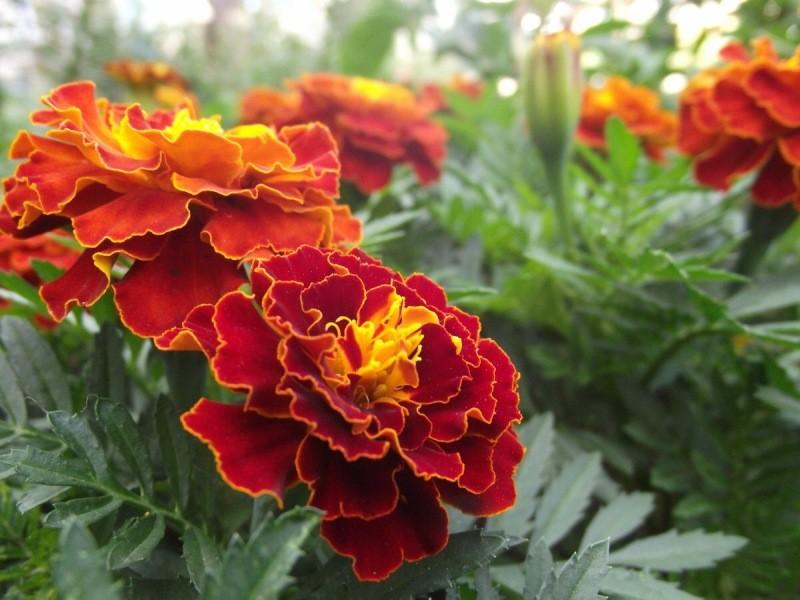 На своем участке я сею бархатцы на каждом свободном клочке земли - рассказываю, зачем мне столько этих цветов