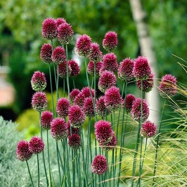 Необычные луковичные растения