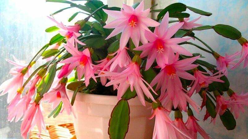 Октябрь — пора подкармливать Декабрист борной кислотой для Пышного цветения. Рассказываю как все сделать правильно