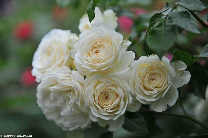 Розы и музыка: 23 песни моего розария
