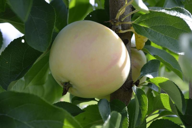 Сорт яблок, который может заменить колоновидные яблони для хорошего дачного участка. Созревает летом. Думаю, что себе посажу