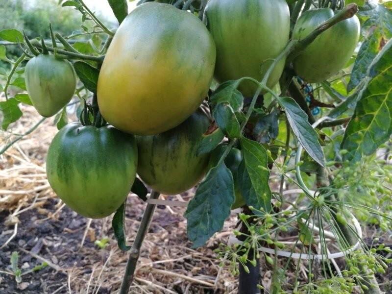 Сорт томата Медовый спас был красив и урожаен, но выращивать его больше не хочется