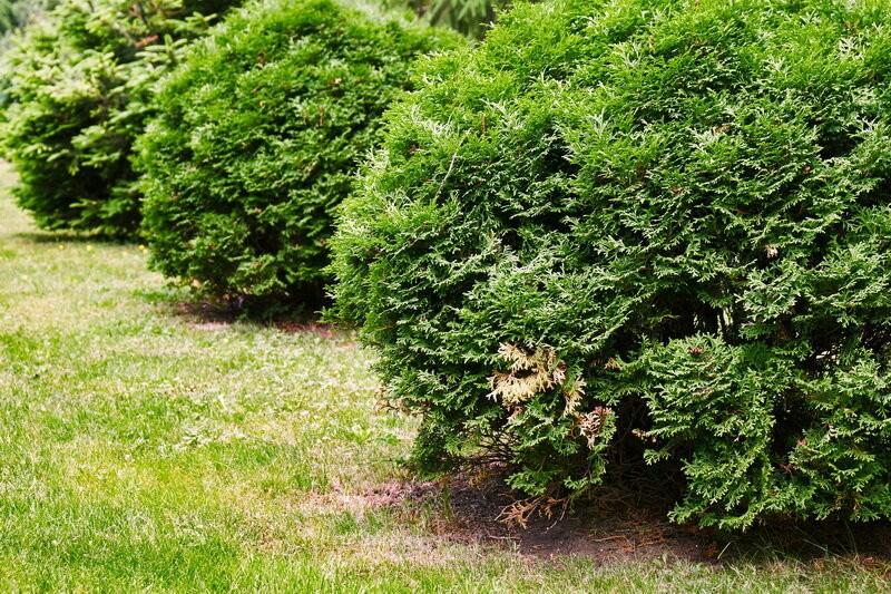 Вечнозеленая живая изгородь из туи на участке
