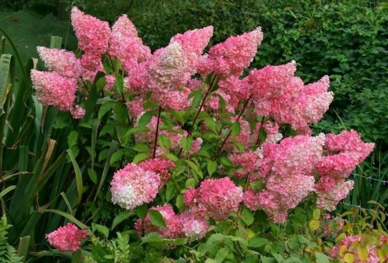 Знакомьтесь, гортензия метельчатая Ванилла Фрейз. Как создать прекрасное розовое облачко на своем дачном участке