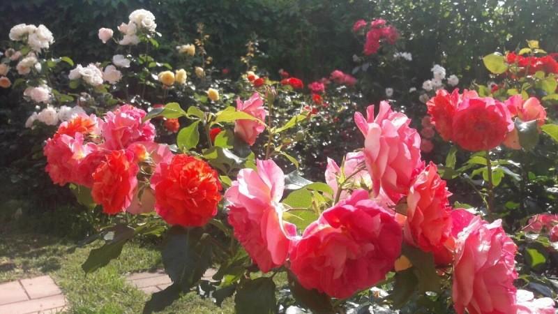 102 розы.🌹 Гербрюдер Гримм. Флорибунда.
