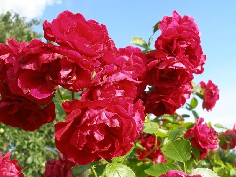 11 быстрорастущих вьющихся растений для вертикального озеленения.