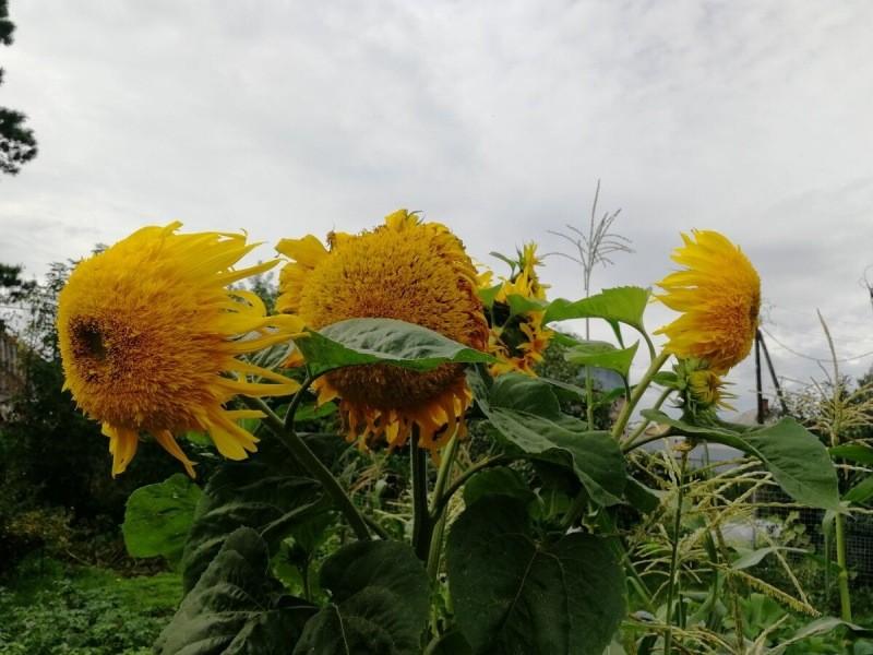 Цветы-гиганты из семечка за один сезон