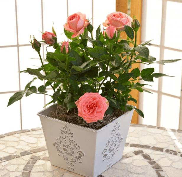 Домашние розы в горшках. Особенности ухода