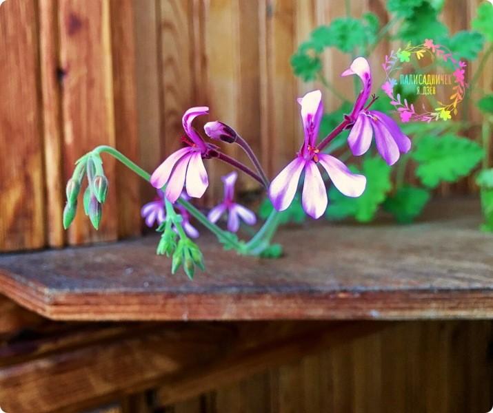 Хотите готовые к цветению кустики герани к весне? Расскажу, как я свои выращиваю.