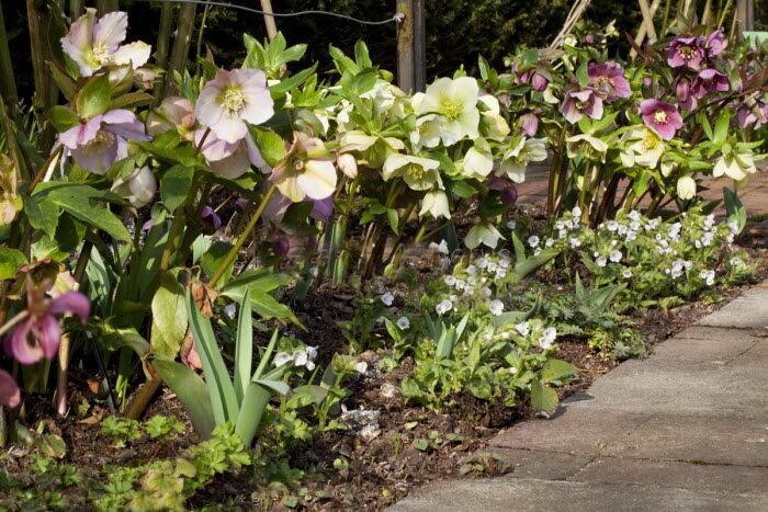 Яркий первоцвет, который раскрасит вашу весну