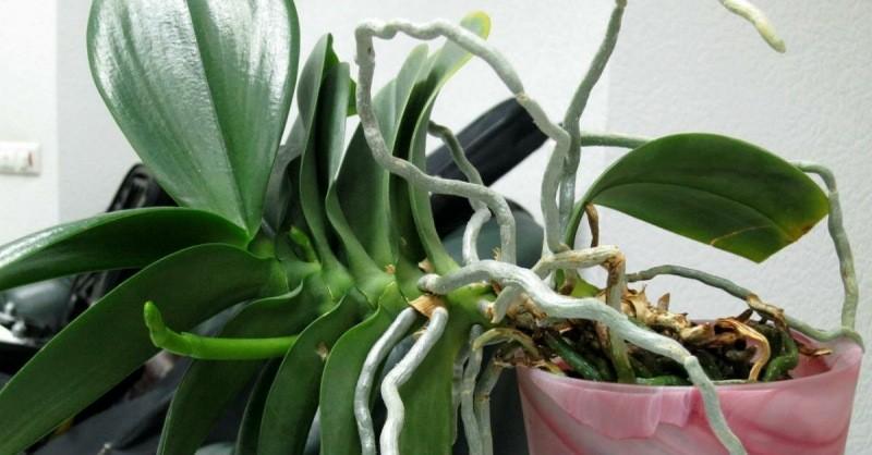 Как я размножаю свои Орхидеи. Лучший способ, к тому же очень Простой